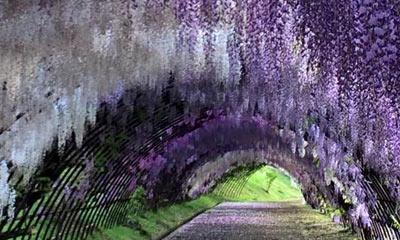 wisteria japan season