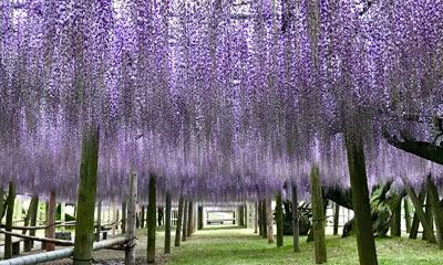 purple flower garden in japan