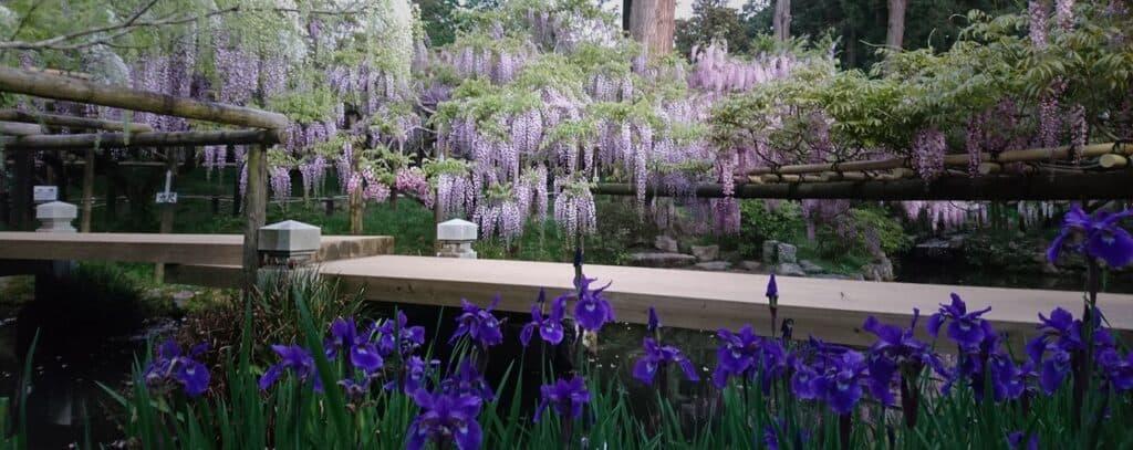 wisteria 2020 japan