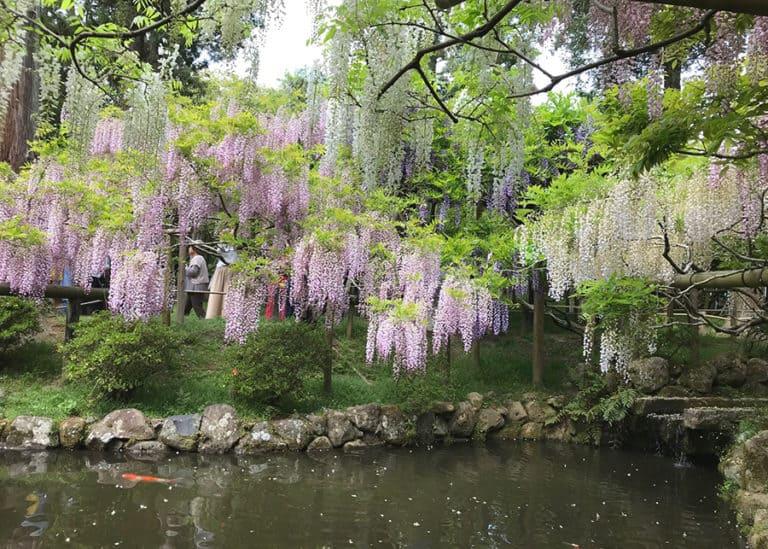 japan wisteria tours