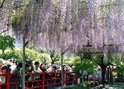 wisteria tree japan