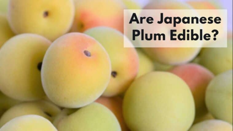 are japanese plums edible