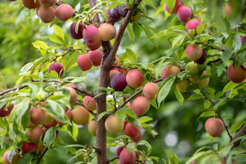 types of japanese plums